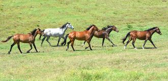 Herd of equines trotting together