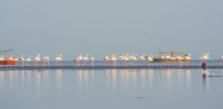 Herd of flamingos at beach. With boats Stock Image