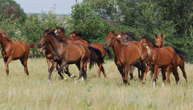 Herd of foals Royalty Free Stock Photo