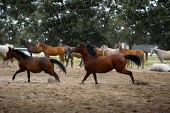 Herd of foals in the pasture Stock Image