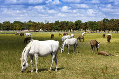Herd of foals in the pasture Royalty Free Stock Images
