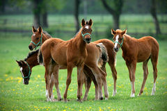 Herd of foals in the pasture Royalty Free Stock Image