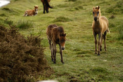 Herd of foals young ponies Royalty Free Stock Photo