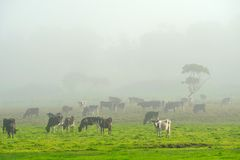The Herd on a Foggy Morning Stock Photography