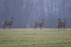 A herd of four roe deer`s on a field Stock Photography