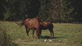 Herd of free horses grazing on green pasture,pine forest on background.White and brown horses are grazing in the field
