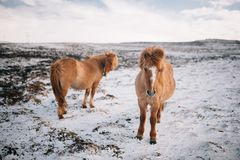 A herd of free-roaming Icelandic horses in the wintertime royalty free stock image