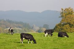 Herd of fresian cows Royalty Free Stock Photo