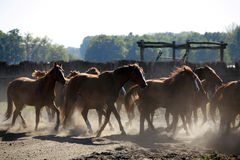 Herd galloping across the horse farm when the sun goes down Royalty Free Stock Photography