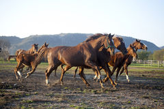 Herd galloping in autumn field when the sun goes down Royalty Free Stock Photos
