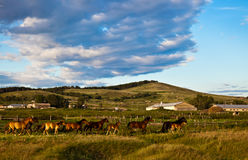 Herd galloping at the field Royalty Free Stock Photo