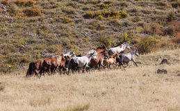 Herd of galloping horses Stock Photos