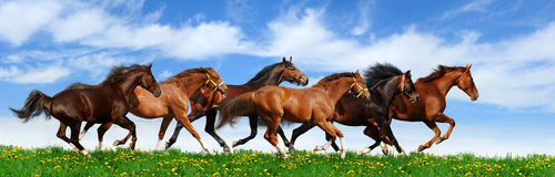Herd gallops. In green field Stock Image