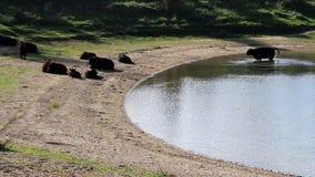 Herd of Galloway cows, Bisonbaai near Nijmegen stock video footage