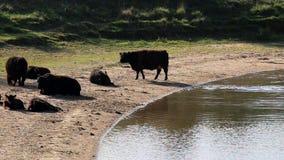 Herd of Galloway cows, Bisonbaai, Netherlands stock video