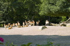 Herd of gazelles Stock Photography