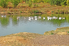 Herd of geese on the pond Stock Photography