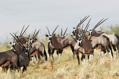 Herd of gemsbok. Gemsbok lives in mostly desert areas and survives without surface water.spends most of the day inactive in shade if at all  possible Royalty Free Stock Photos
