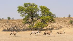 Gemsbok Herd. A herd of gemsbok in the Kgalagadi Transfrontier Park, situated in the Kalahari Desert which straddles South Africa and Botswana Stock Photo
