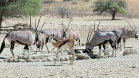 Herd of Gemsbok, Oryx gazella and springbok on waterhole stock footage