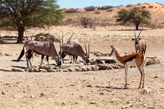 Herd of Gemsbok, Oryx gazella and springbok on waterhole, focus to oryx Stock Photography