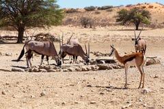 Herd of Gemsbok, Oryx gazella and springbok on waterhole, focus to oryx. Herd of Gemsbok, Oryx gazella and springbok on waterhole,dominant Gemsbok antelope in Stock Photography