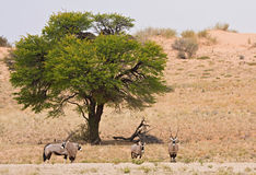 Herd of gemsbok (oryx) in the Kalahari desert. A herd of gemsbok (oryx) standing underneath a camelthorn acacia tree in front of a red sand dune in the Kgalagadi royalty free stock photos