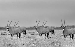 Herd of Gemsbok Oryx on the plains of Africa Stock Images