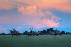Herd of gemsbok with pink storm clouds, evening sunset. Gemsbuck, Oryx gazella, large antelope in anture habitat, grass medow, Nxa. I Pan, Botswana, Africa. Wild royalty free stock image