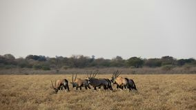 Herd of Gemsbok standing in grassland. Herd of Gemsbok oryx gazella standing in grassland. Picture taken in Central Kalahari Game Reserve, Botswana Stock Photography