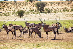 Herd of gemsbok Royalty Free Stock Photos