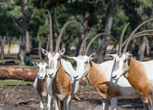 The herd of the gemsboks Oryx gazella in Safari park Ramat Gan, Israel. Ramat Gan, Israel - Februar 21, 2018 : The herd of the gemsboks Oryx gazella in Safari Stock Photos