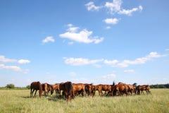 Herd of gidran horses eating fresh green grass summertime Stock Photos