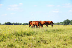 Herd of gidran horses eating fresh green grass summertime. Purebred chestnut foals and mares eating green grass on the hungarian meadow puszta summertime rural Stock Image