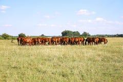 Herd of gidran horses eating fresh green grass summertime Stock Photography