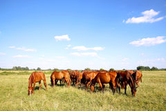Herd of gidran horses eating fresh green grass summertime. Purebred chestnut foals and mares eating green grass on the meadow summertime rural scene Stock Photo