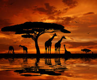 Herd of giraffe. In sunset Royalty Free Stock Photography
