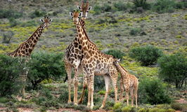Herd of Giraffe and a baby giraffe calf royalty free stock photography