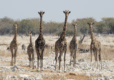 Herd of Giraffe. In Etosha National Park Namibia, Africa Stock Photo