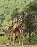 Herd of giraffe, Serengeti, Tanzania Royalty Free Stock Photo