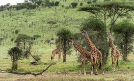 Herd of giraffe, Serengeti, Tanzania Royalty Free Stock Images