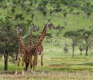 Herd of giraffe, Serengeti, Tanzania Stock Photos