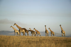 Herd of Giraffes. In grassy area with hills behind royalty free stock photos