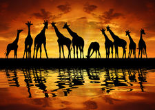 Herd of giraffes. In the sunset Stock Photography