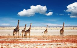 Herd of giraffes stock photos