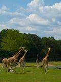 Herd of giraffes. Walking on grassland Stock Image