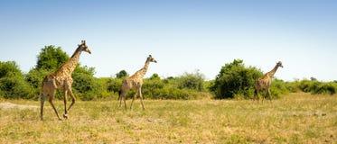 Herd of Giraffes in Africa Stock Image