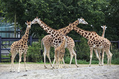 Herd of giraffes with cub. Stock Photos