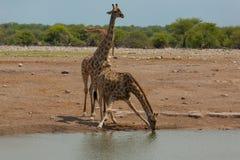 Herd of giraffes Stock Images