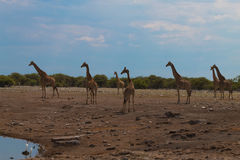 Herd of giraffes Royalty Free Stock Images